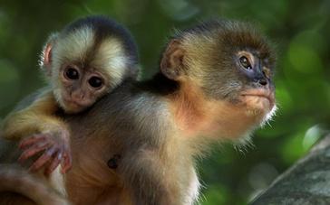 僧帽猴本色出演放异彩 真实自然比特效更美