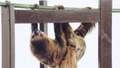 《疯狂动物城》病毒视频 贝特曼对话真实的树懒