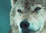 《血狼犬》预告片