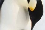 """《帝企鹅日记2:召唤》10月12日国内正式上映,同时发布了一支""""爸爸带娃""""特辑,特辑中充满了企鹅父子相处的逗趣儿场面,令人忍俊不禁。"""