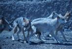"""即将于2015年2月19日,农历大年初一与观众见面的,真狼实景拍摄3D华语巨制电影《狼图腾》,从主题曲《沧浪之歌》MV发布到养狼特辑曝光,就一直吊足了影迷的胃口。近日,《狼图腾》再曝重磅消息,发布""""人狼情深""""版预告片及海报,让影迷对电影的期待值再次升温。片方中国电影股份有限公司也趁热宣布,影片将在情人节档特别献映,提前抢占市场。正式对外公布了 """"《狼图腾》情人节档--特别献映计划""""。"""