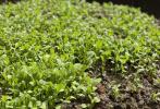 4月19日晚,演員Angelababy楊穎在微博發布了《種菜日記》,記錄了從3月12日至4月19日的雞毛菜種植過程。通過圖文對照,網友們對農作物培育有了更為直觀的感受。