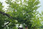 """7月12日,章子怡分享了一家四口上山摘桃的郊游照片,并在博文中寫道:""""周末帶孩子們進山里摘桃子,摘著摘著就都飽了。沒想到,北京的黃桃這么香甜""""。隨后,汪峰轉發表白道""""被三位美女簇擁著絕對比桃兒甜""""。"""