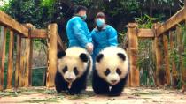 《大熊猫》配音特辑