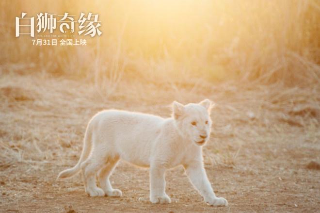 《白狮奇缘》定档7月31日 暖血奼女伴随呆萌白狮
