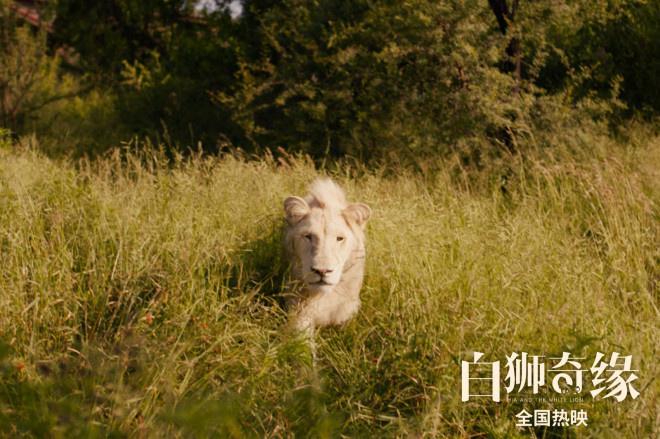 《白狮奇缘》热映 幕后团队历时三年真景真狮拍摄
