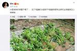 谢霆锋菜园子塌了:共损失了4个茄子、9颗番茄