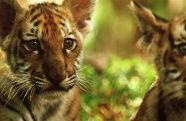 《虎兄虎弟》推介:让-雅克·阿诺镜头下的自然之灵