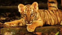 动物与小孩最难拍 《虎兄虎弟》中的精彩画面是如何呈现的?