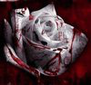 Thorns from a Rose